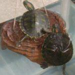 一匹の亀が死んでしまいました・・・無常と無情
