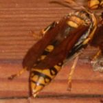 軒下の蜂を追い出す・・・蚊取り線香、ダメ。木酢液、ダメ。やはり専用の「ハチの巣を作らせない ハチアブスーパージェット」でやっと追放
